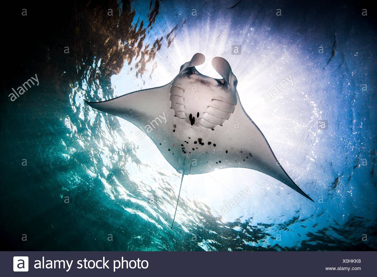 Underwater low angle view of  Manta Ray (manta alfredi) feeding at ocean surface, Bali, Indonesia - Stock Image
