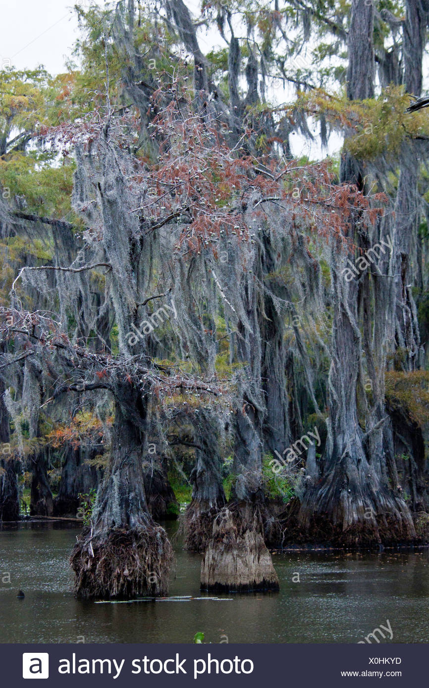 Angiosperms, Bald Cypress, Bald-cypress, Baldcypress, Bromeliaceae, Caddo lake, Commelinids, Cupressaceae, Cypress swamp, Diapho - Stock Image