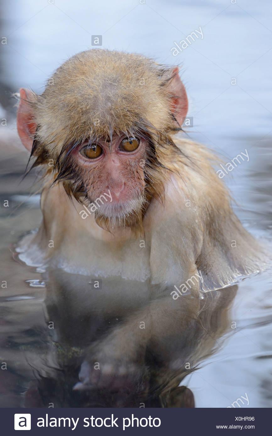 Young Japanese Macaque or Snow Monkey (Macaca fuscata), portrait, Affenpark Jigokudani, Nagano Präfektur, Japan Stock Photo