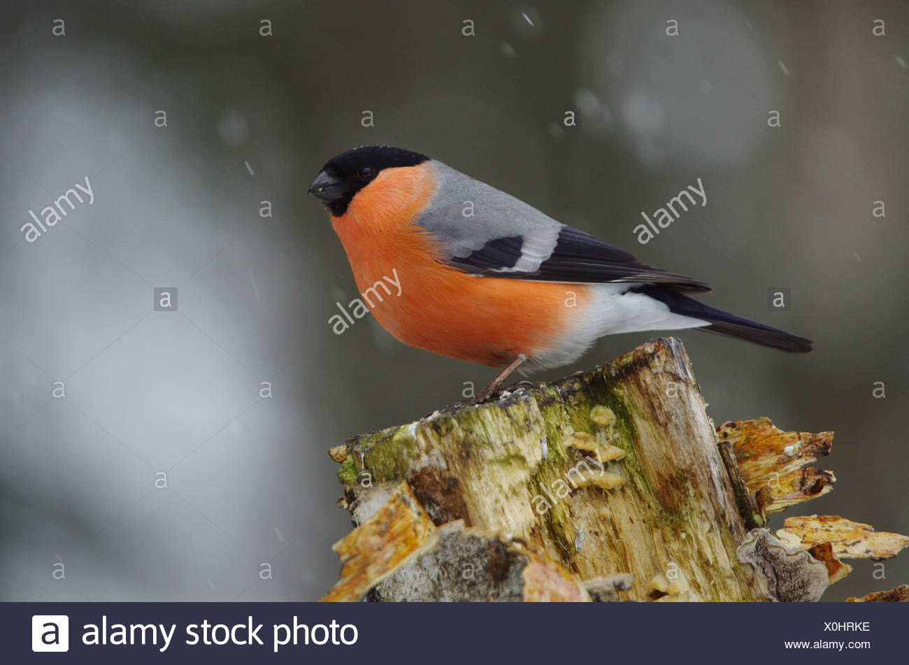 Europe, Sweden, Hamra, animals, bird, passerine bird, finch, bullfinch, Pyrrhula pyrrhula, stump - Stock Image