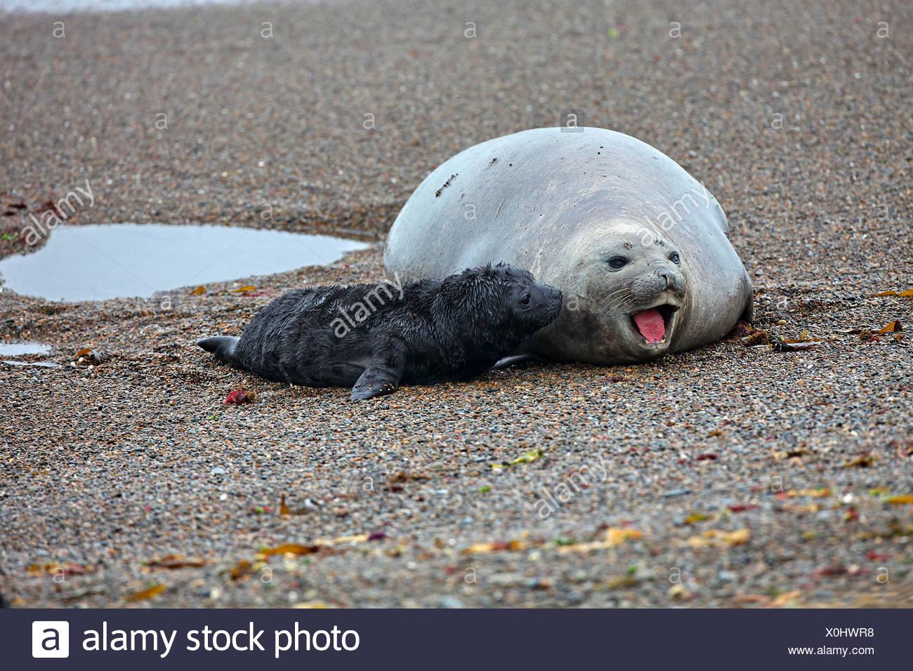 southern elephant seal (Mirounga leonina), female and newborn cub on the beach, Argentina, Valdes Peninsula - Stock Image