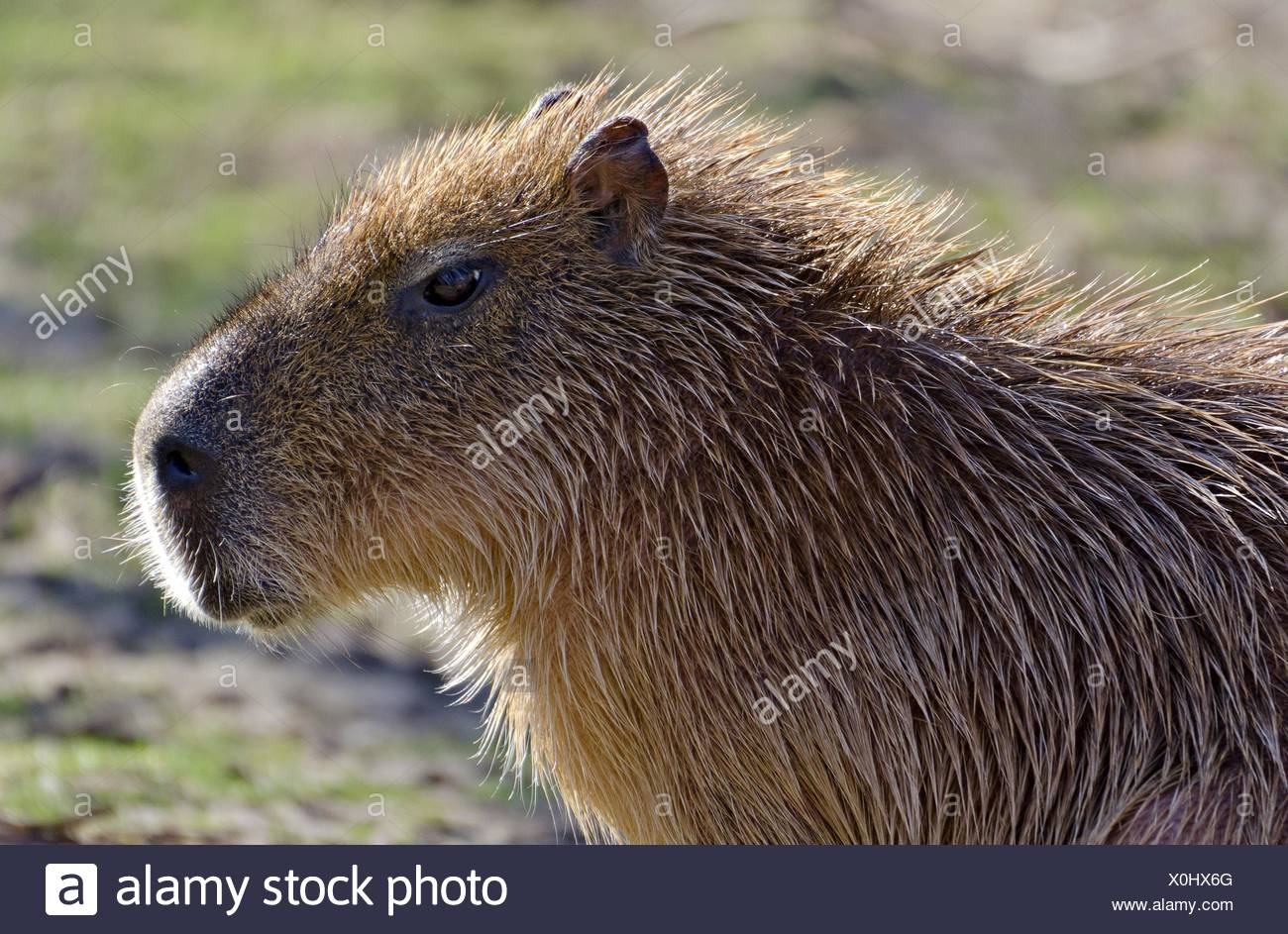 head of a grownup Capibara - Stock Image
