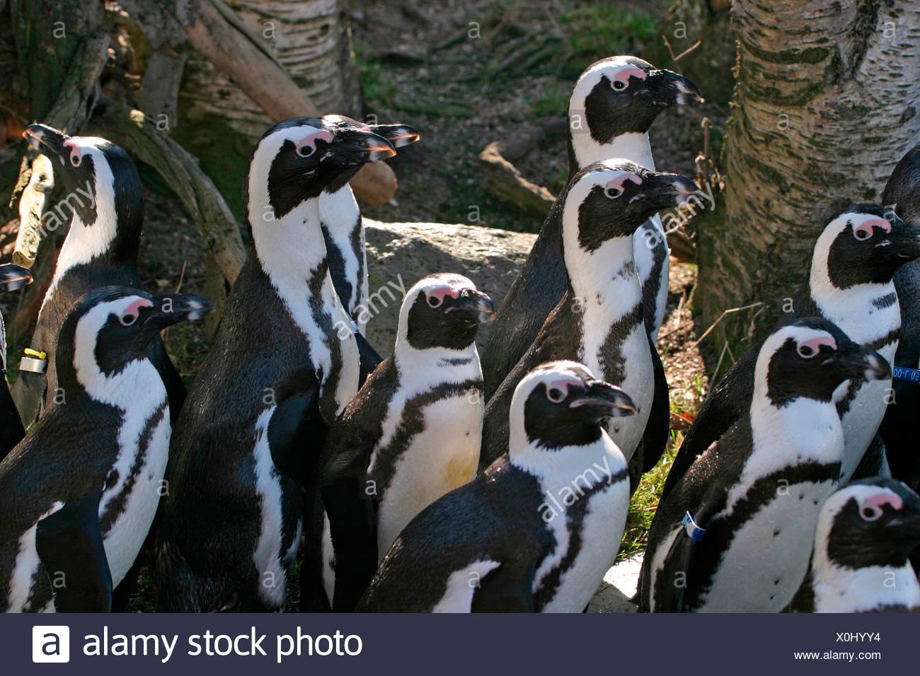 Pinguine / penguins Stock Photo