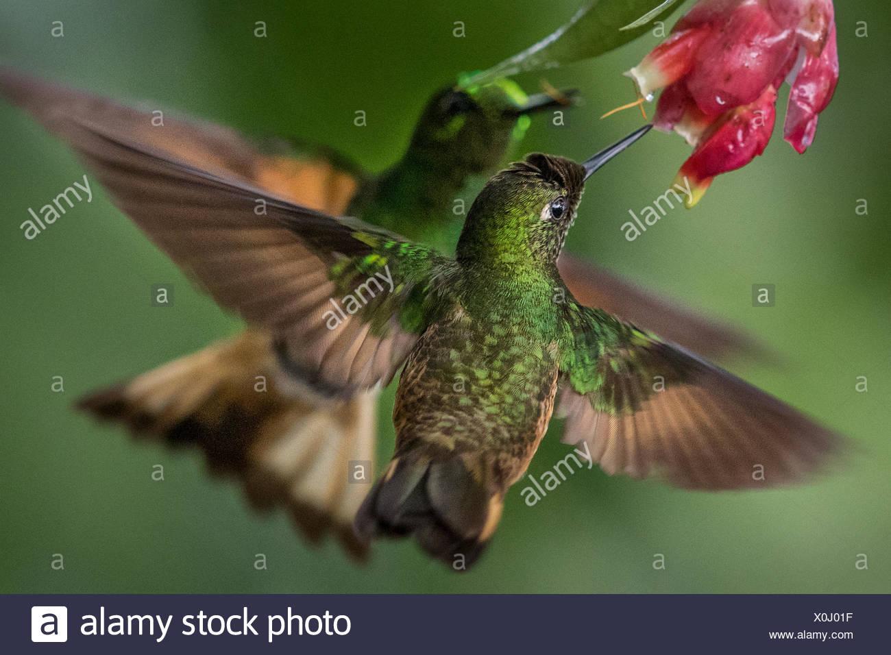 A buff-tailed Coronet hummingbird, Boissonneaua Flavescens, drinks from a flower. - Stock Image