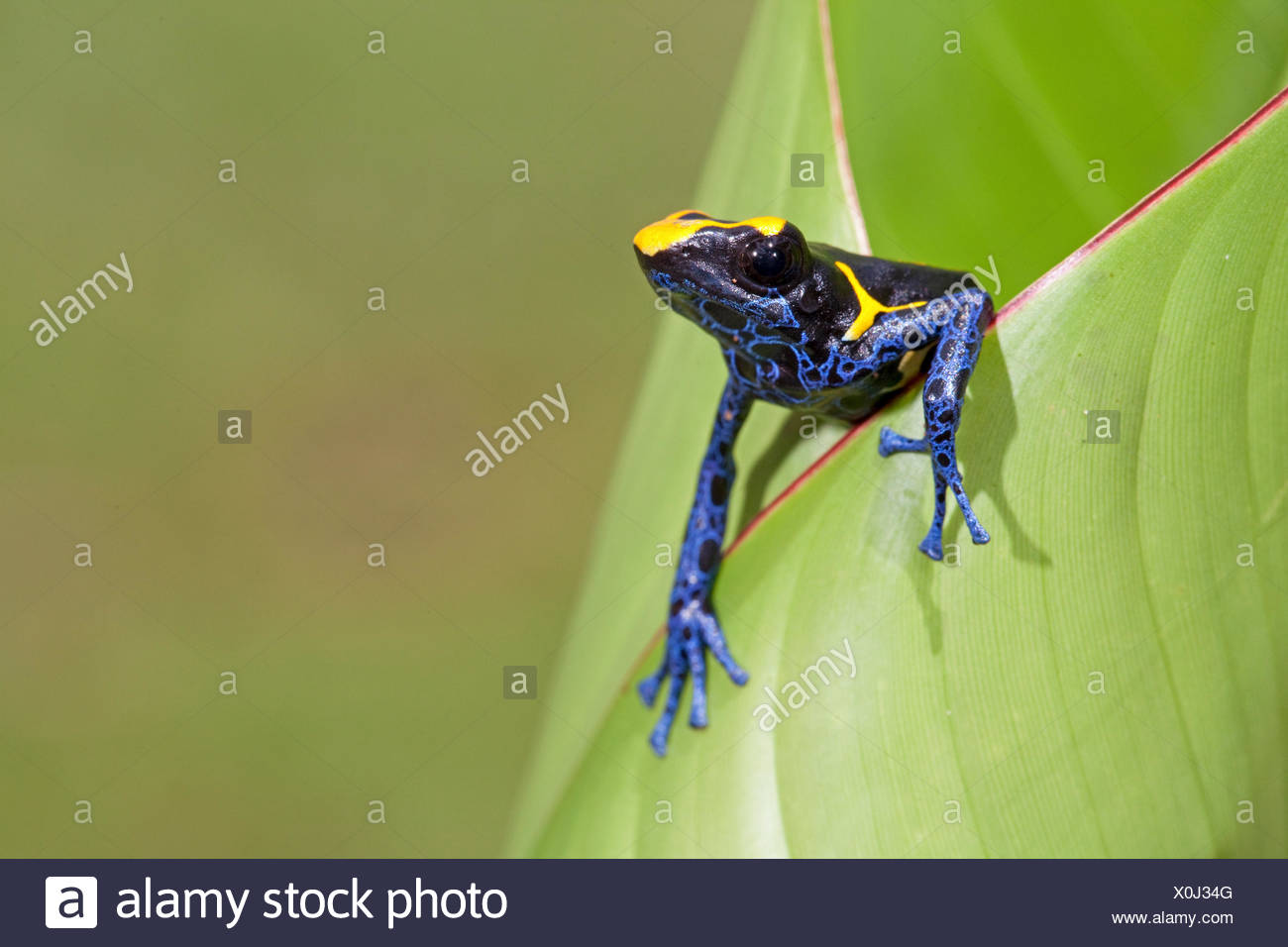 photo of a dyeing dart frog crawling out of a green leaf - Stock Image