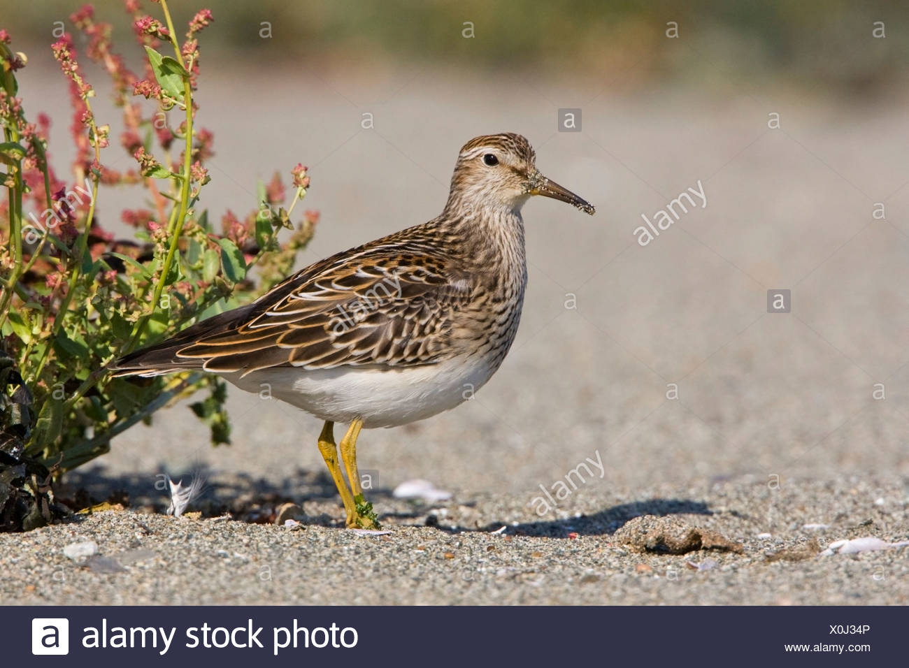 A Pectoral sandpiper (Calidris melanotos) feeds along the shoreline in Victoria, Vancouver Island, British Columbia, Canada - Stock Image