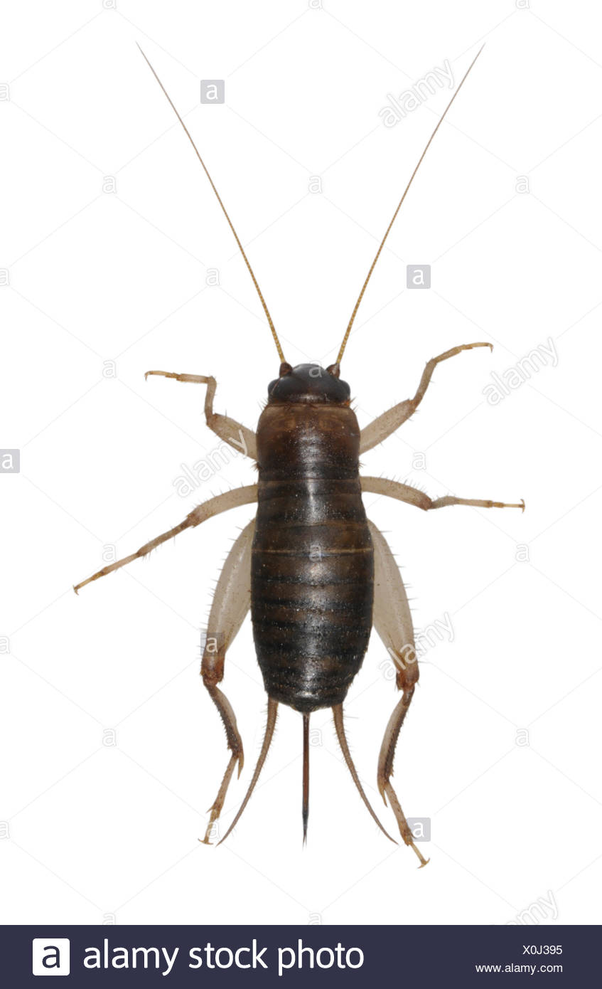 Scaly Cricket - Pseudomogoplistes vincentae Stock Photo