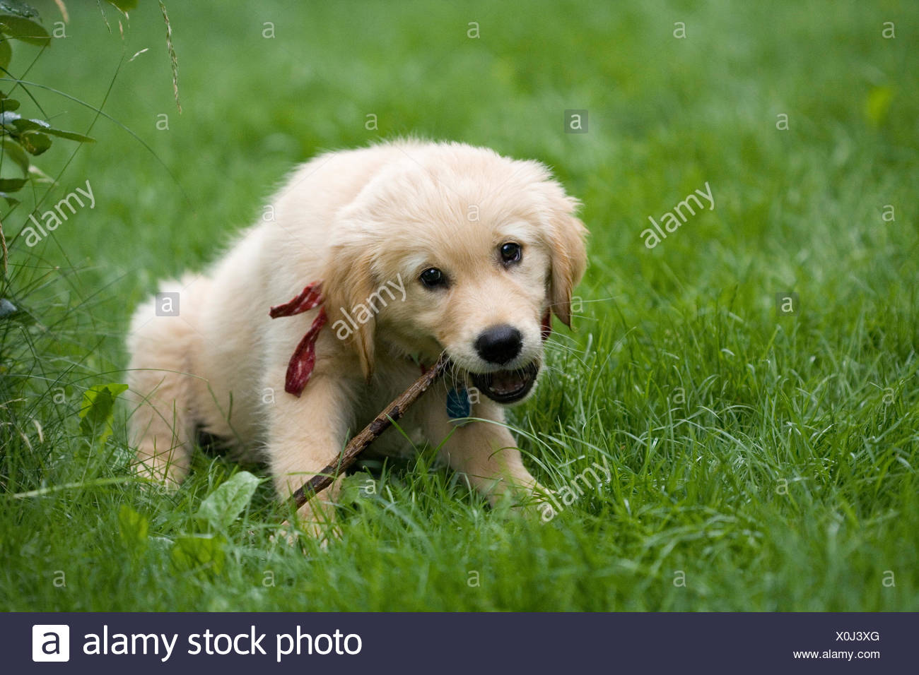 Golden Retriever puppy chewing on a branch, Germany Stock Photo
