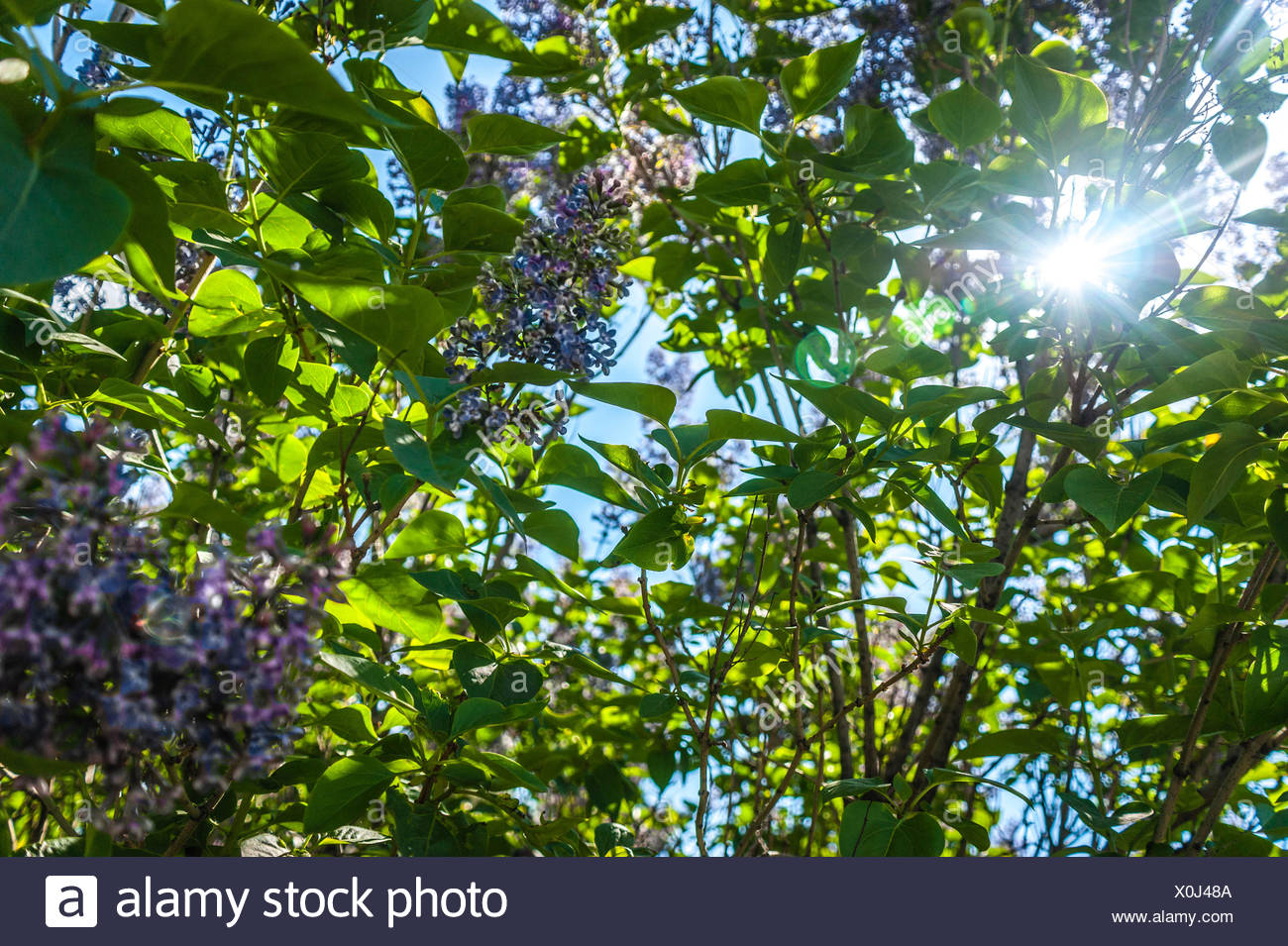 Sun Rays Shines Through Leaves - Stock Image