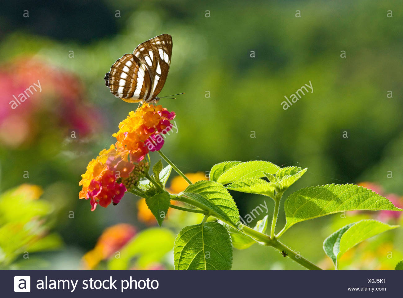 Black and White Brush-footed butterfly (Neptis hylas) on Lantana (Lantana camara), Asia - Stock Image