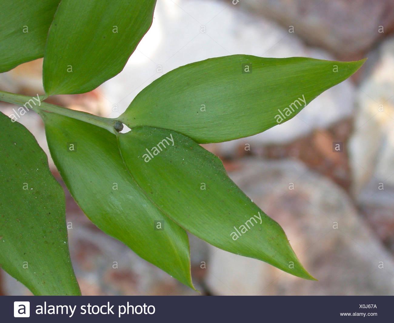 Queensland Kauri, Smooth-barked Kauri (Agathis robusta, Agathis palmerstonii), leaves - Stock Image