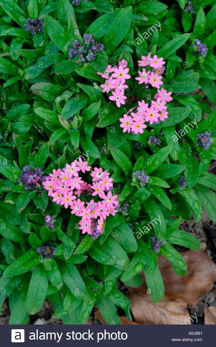 Wood Forget-me-not, variety Victoria rose / (Myosotis sylvatica) - Stock Image
