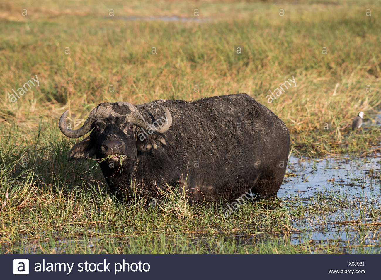 African or Cape buffalo (Syncerus caffer) standing in water, feeding, Chobe River, Chobe National Park, Botswana Stock Photo