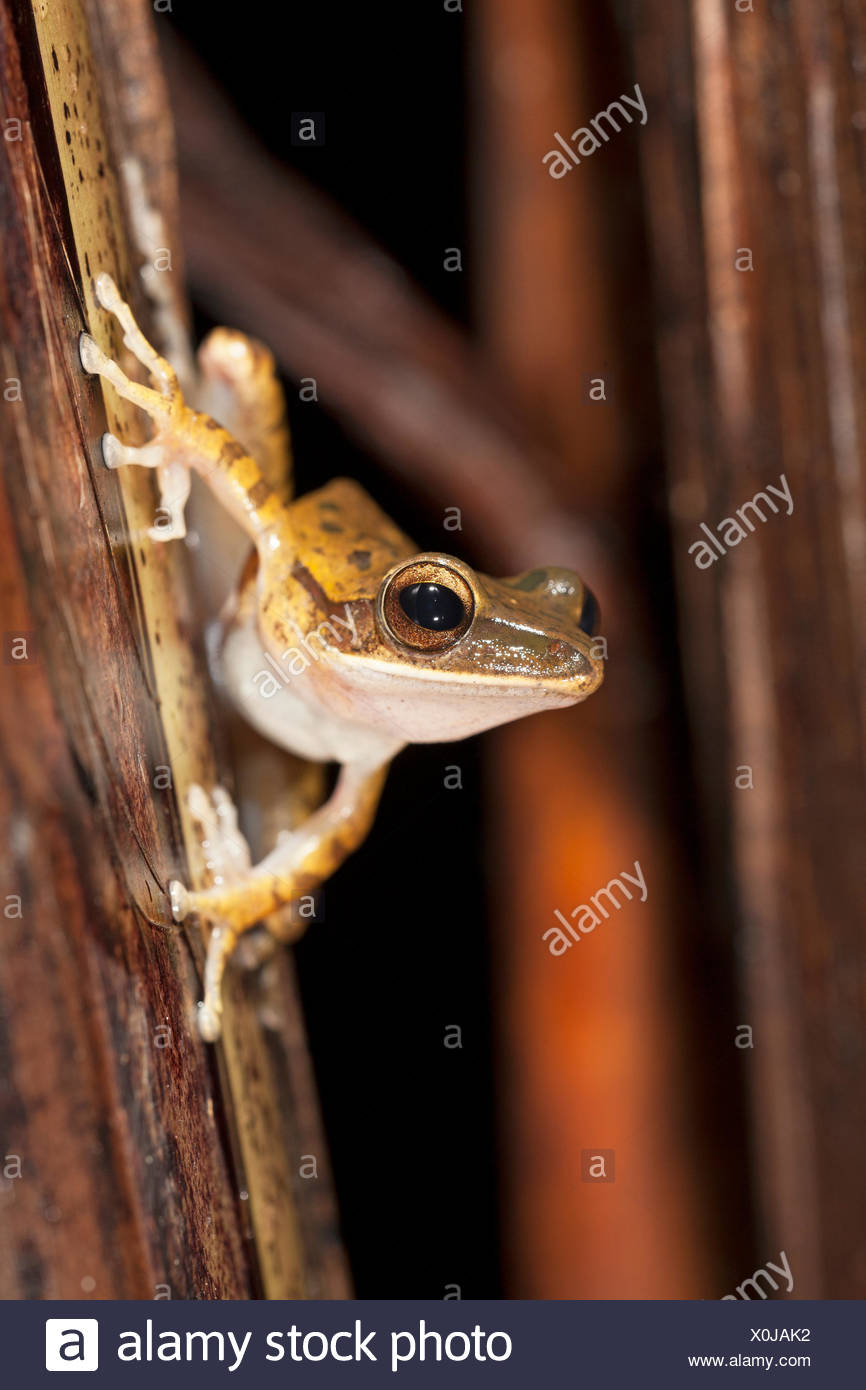 common treefrog on twig - Stock Image