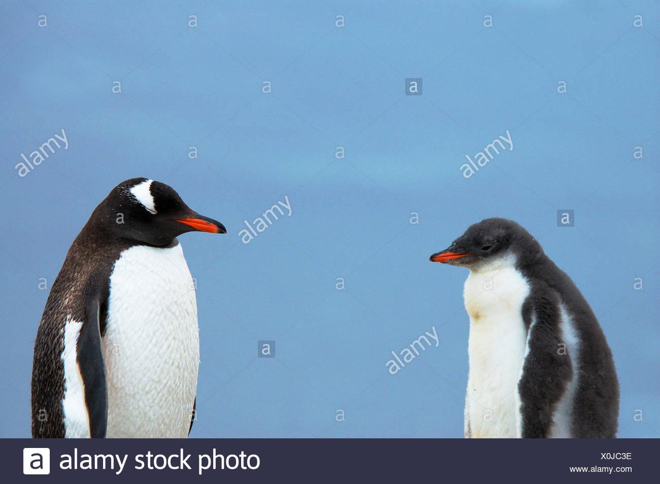 Gentoo Penguin (Pygoscelis papua) adult with chick, Antarctica. Stock Photo