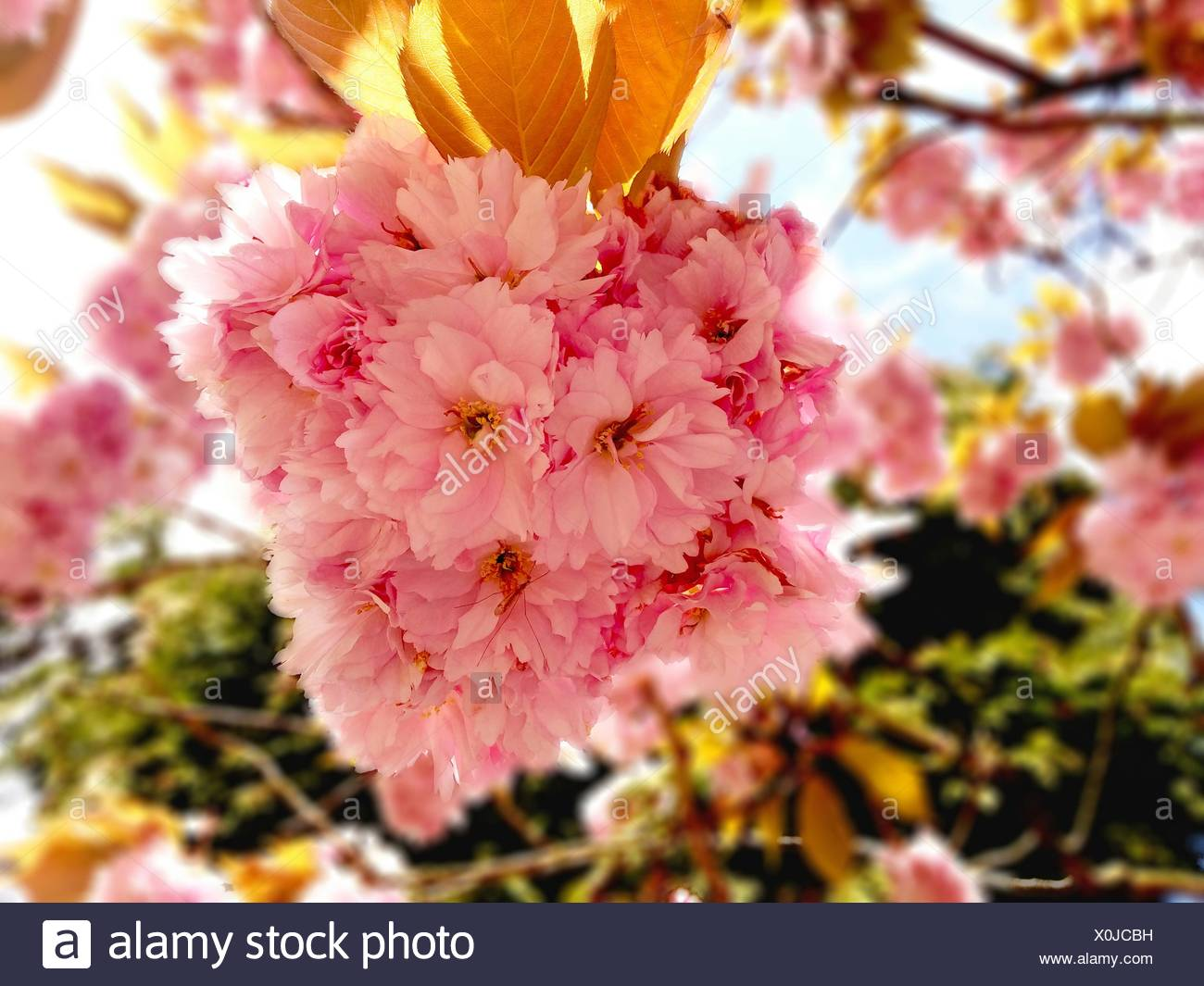 Close Up Of Pink Flowers Growing On Tree Stock Photo 275770757 Alamy