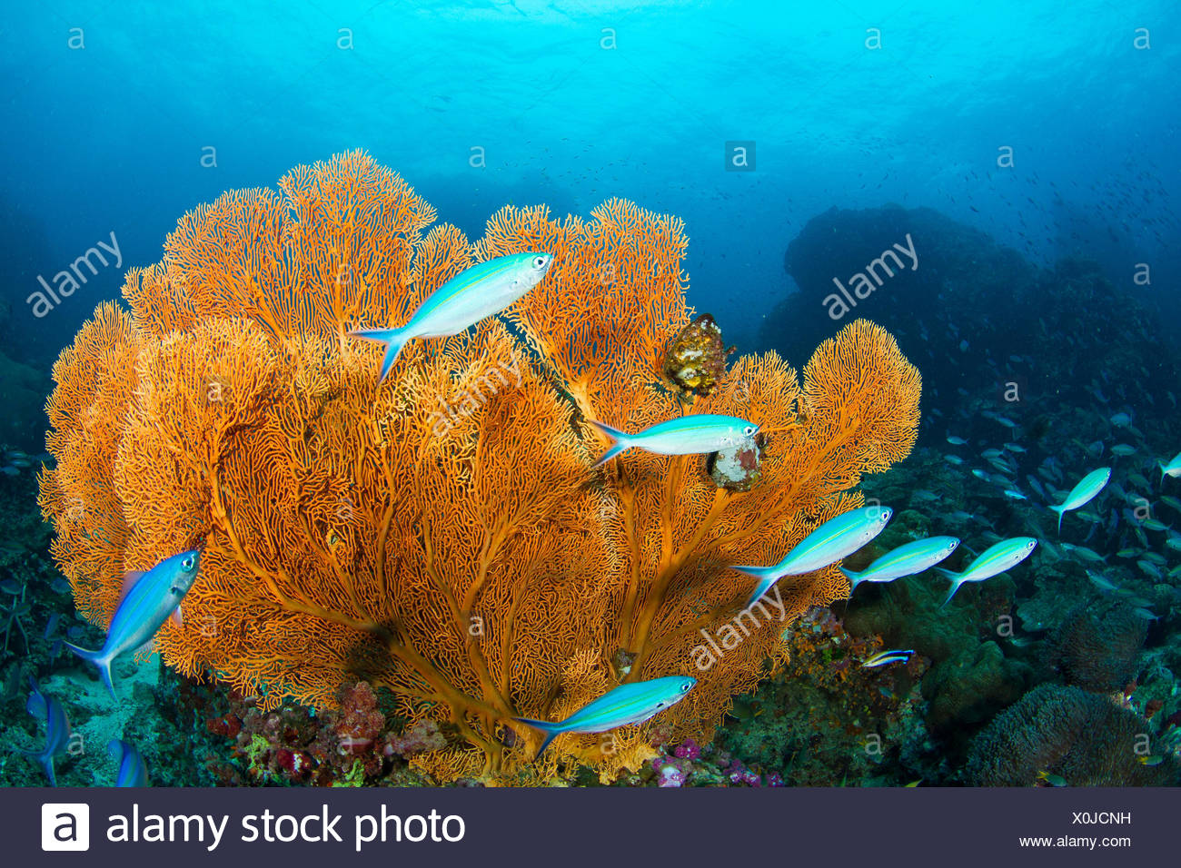 Gorgonian seafans and fuseliers on a deep coral reef. - Stock Image