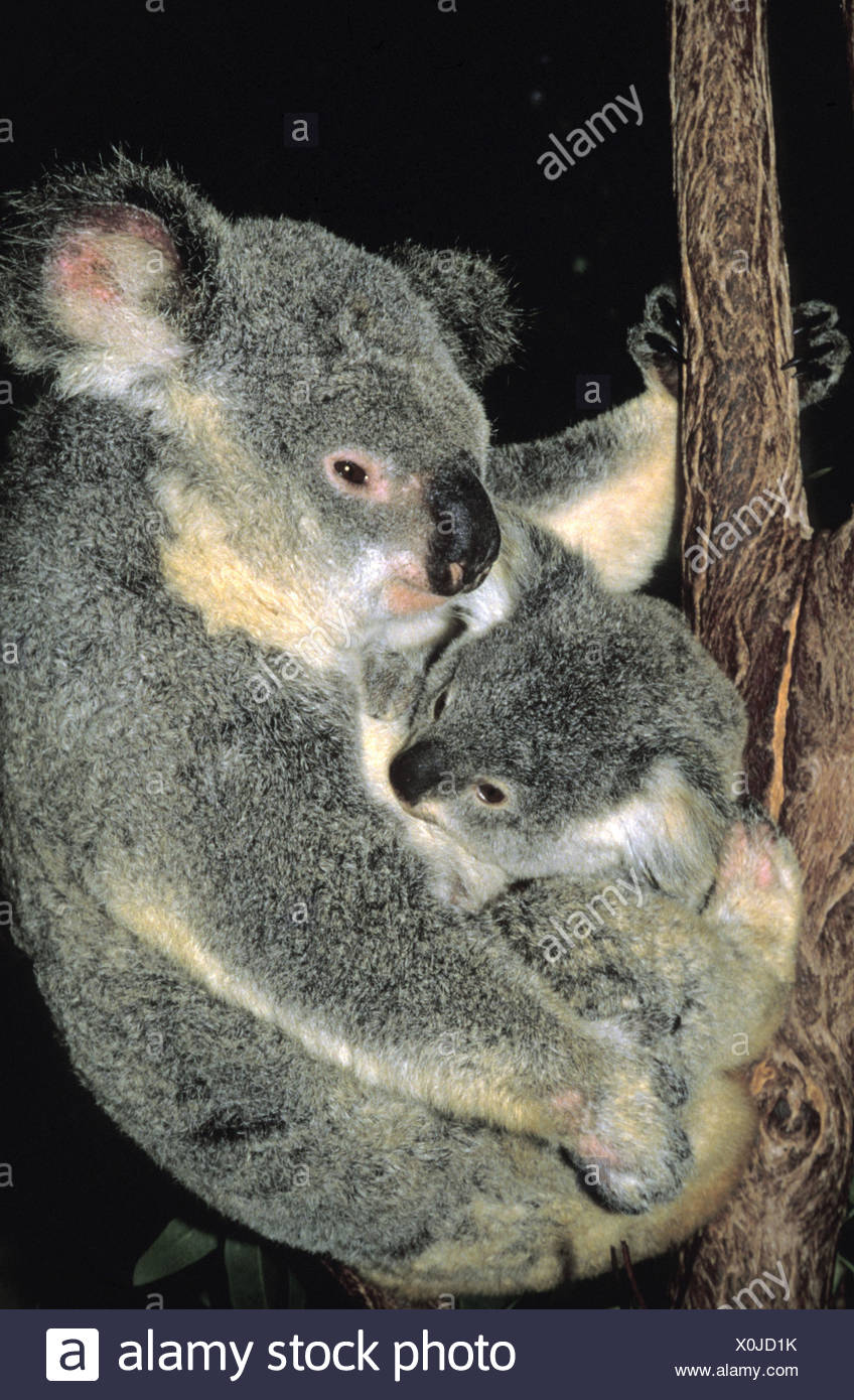 Koala or ash-grey koala,Phascolarctos cinereus,mother animal,young animal,Australia, Stock Photo