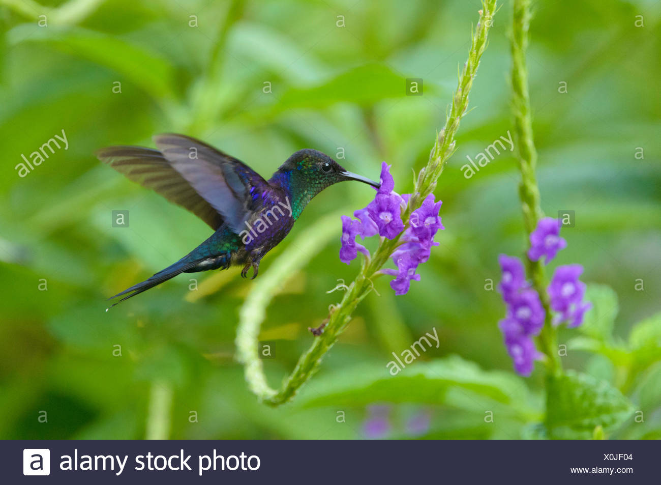 Violet-crowned Woodnymph (Thalurania colombica), in flight, feeding on nectar from flower, Puntarenas Province, Costa Rica - Stock Image