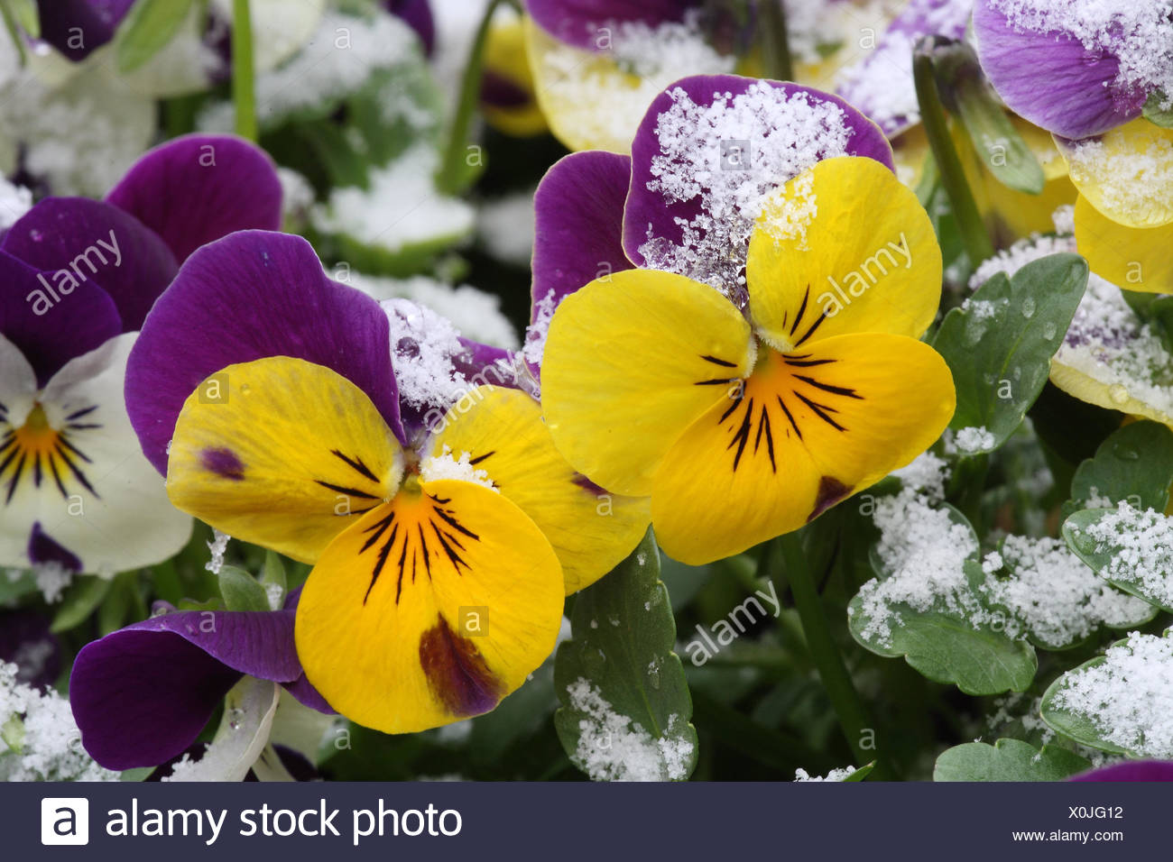 Violets Flower Stock Photos Violets Flower Stock Images Alamy