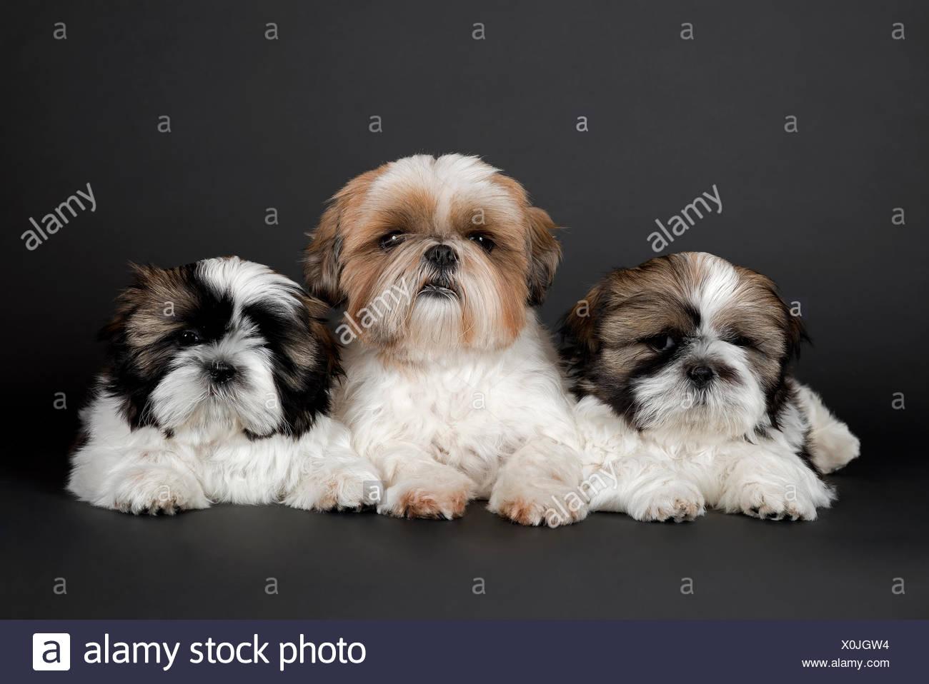 Shih Tzu Puppies 10 Weeks Colour Gold White Stock Photo Alamy