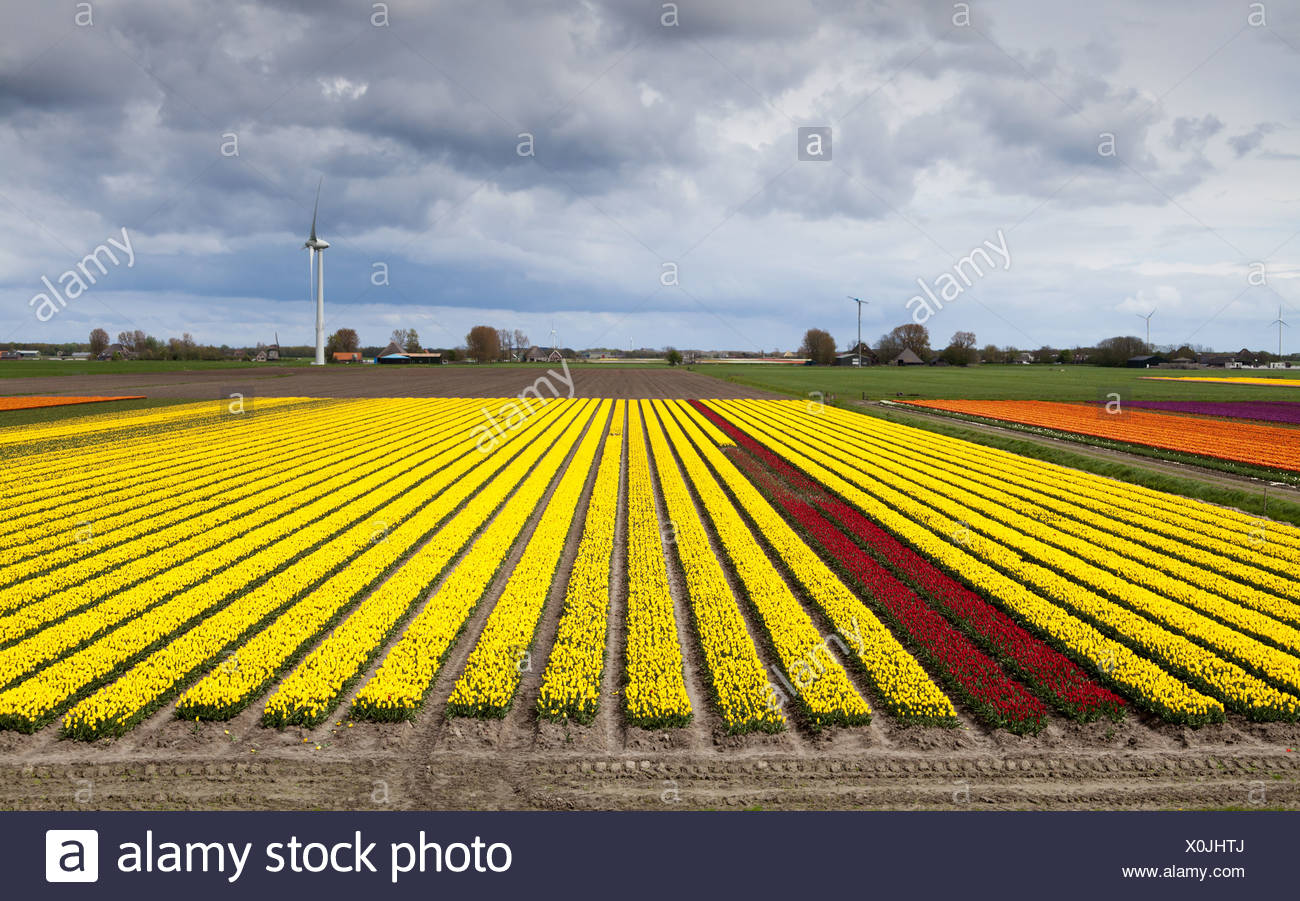 wide angle view on tulip field Stock Photo