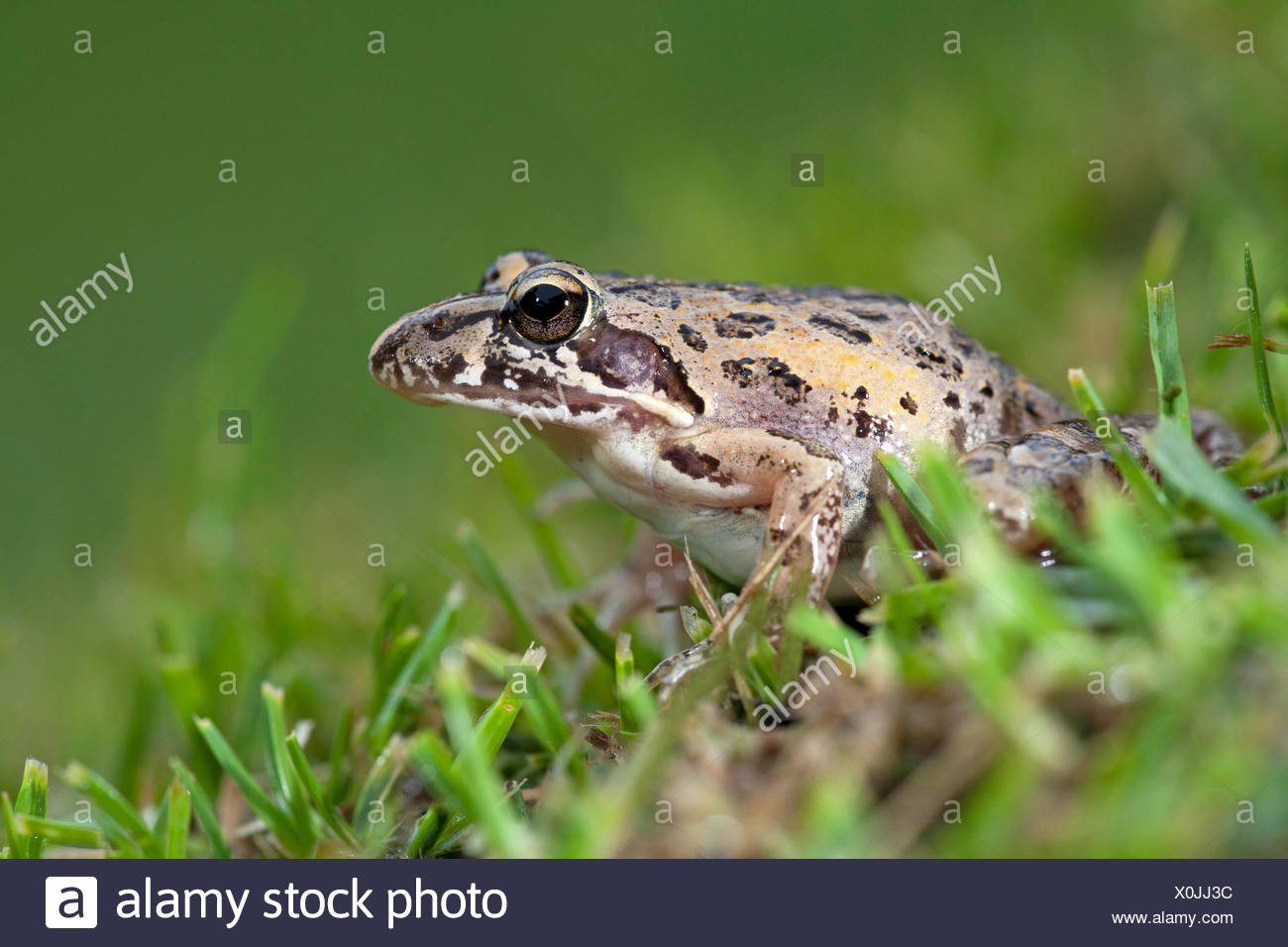 photo of a clicking stream frog on grass - Stock Image