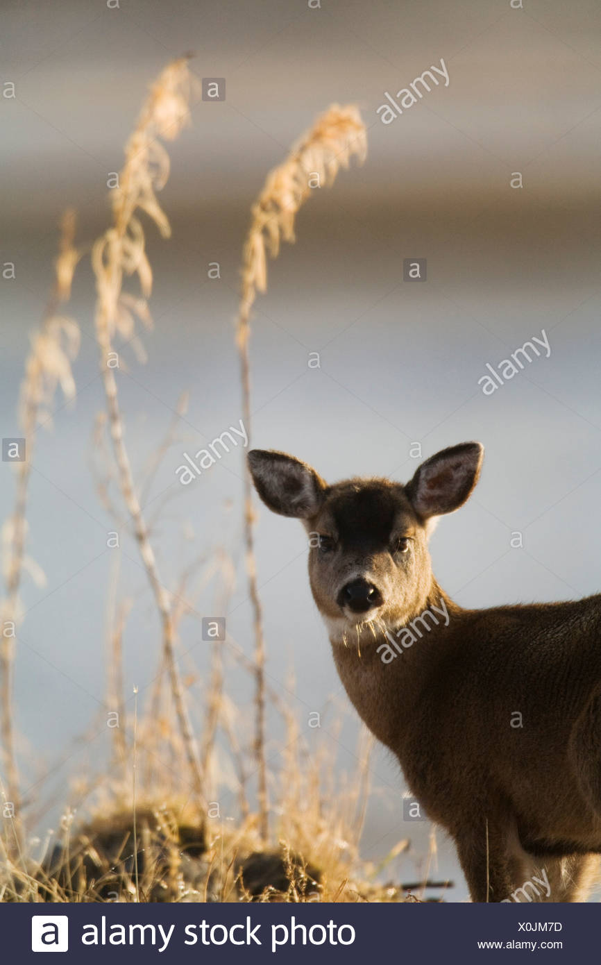 Sitka Black-tailed deer fawn during Winter on Kodiak Island, Southwestern Alaska - Stock Image