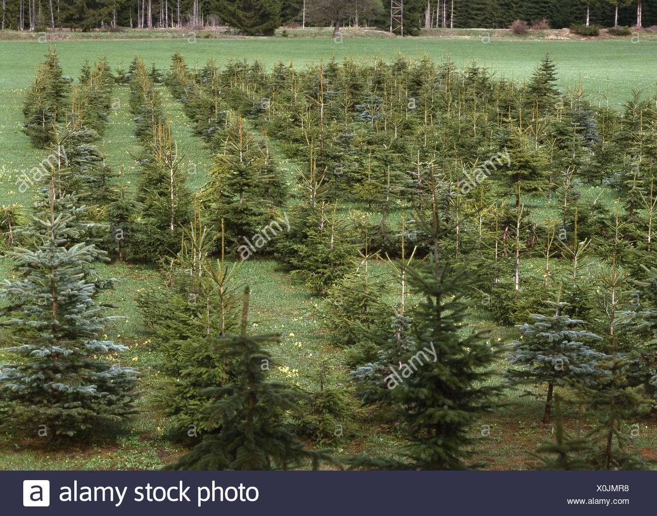 Nursery garden, conifers, reforestation, tree breeding, Christmas trees, firs, blue spruces, spruces - Stock Image