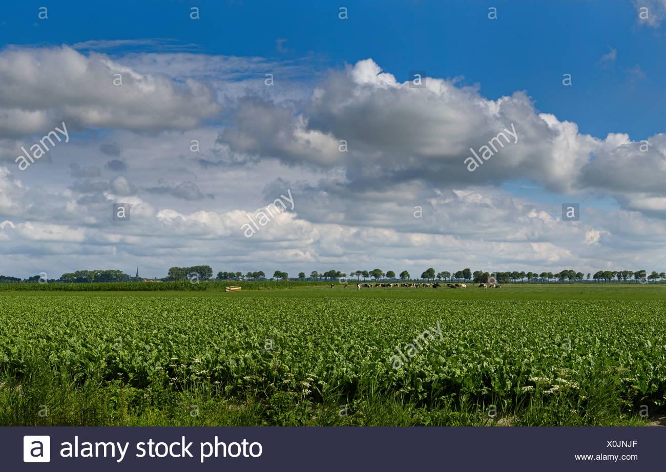 Netherlands, Europe, Holland, Noordbeemster, Polder, De Beemster, landscape, field, meadow, summer, clouds, - Stock Image