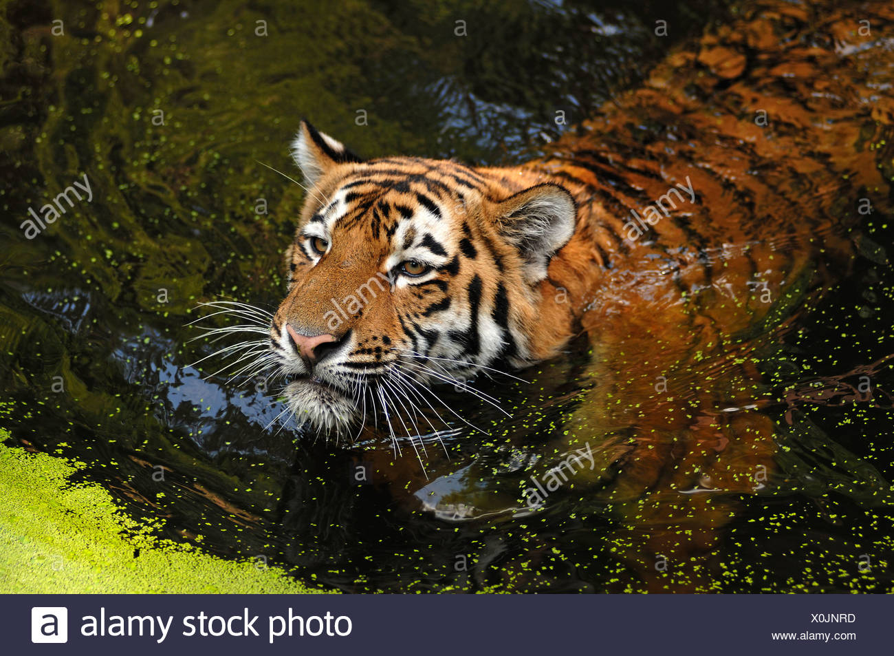Siberian Tiger (Panthera tigris altaica), swimming in a moat, Tiergarten Nuernberg, Nuremburg Zoo, Nuremburg, Middle Franconia Stock Photo
