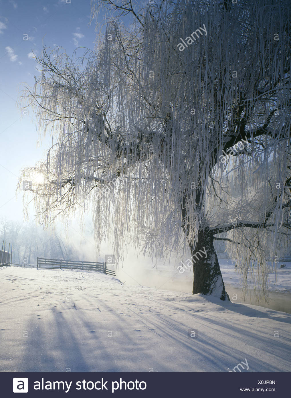 SUN SHINING THROUGH WILLOW TREE WITH HOAR FROST - Stock Image