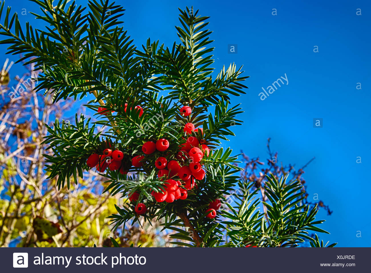Red jew berries - Stock Image