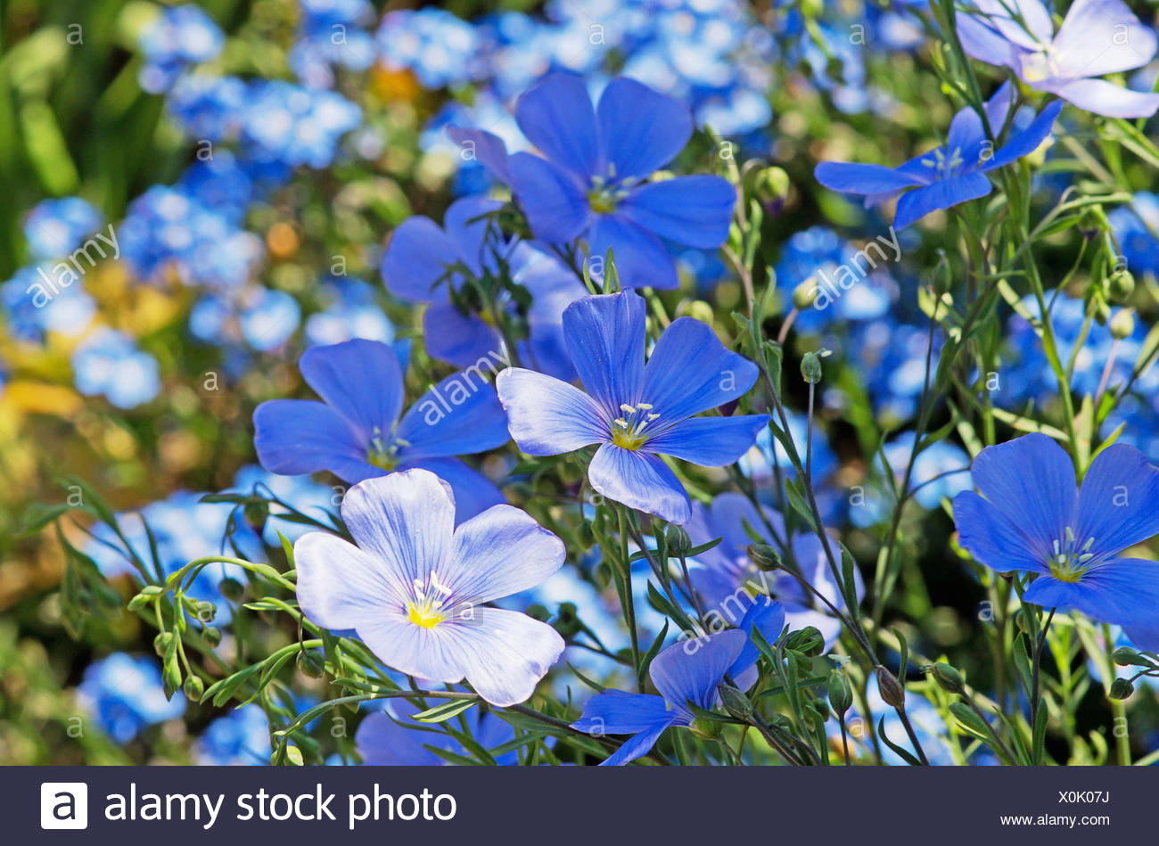 Small Blue Flowers Of Perennial Flax Linum Perenne Stock Photo