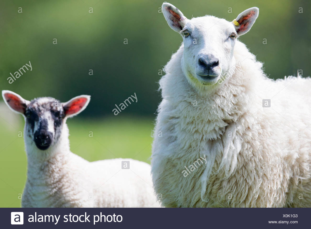 Close up portrait of sheep and lamb - Stock Image