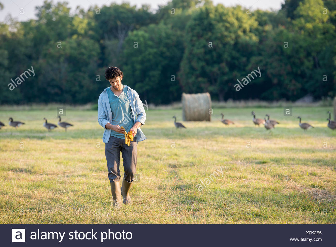 A man walking across a field, away from a flock of geese outdoors in the fresh air. - Stock Image
