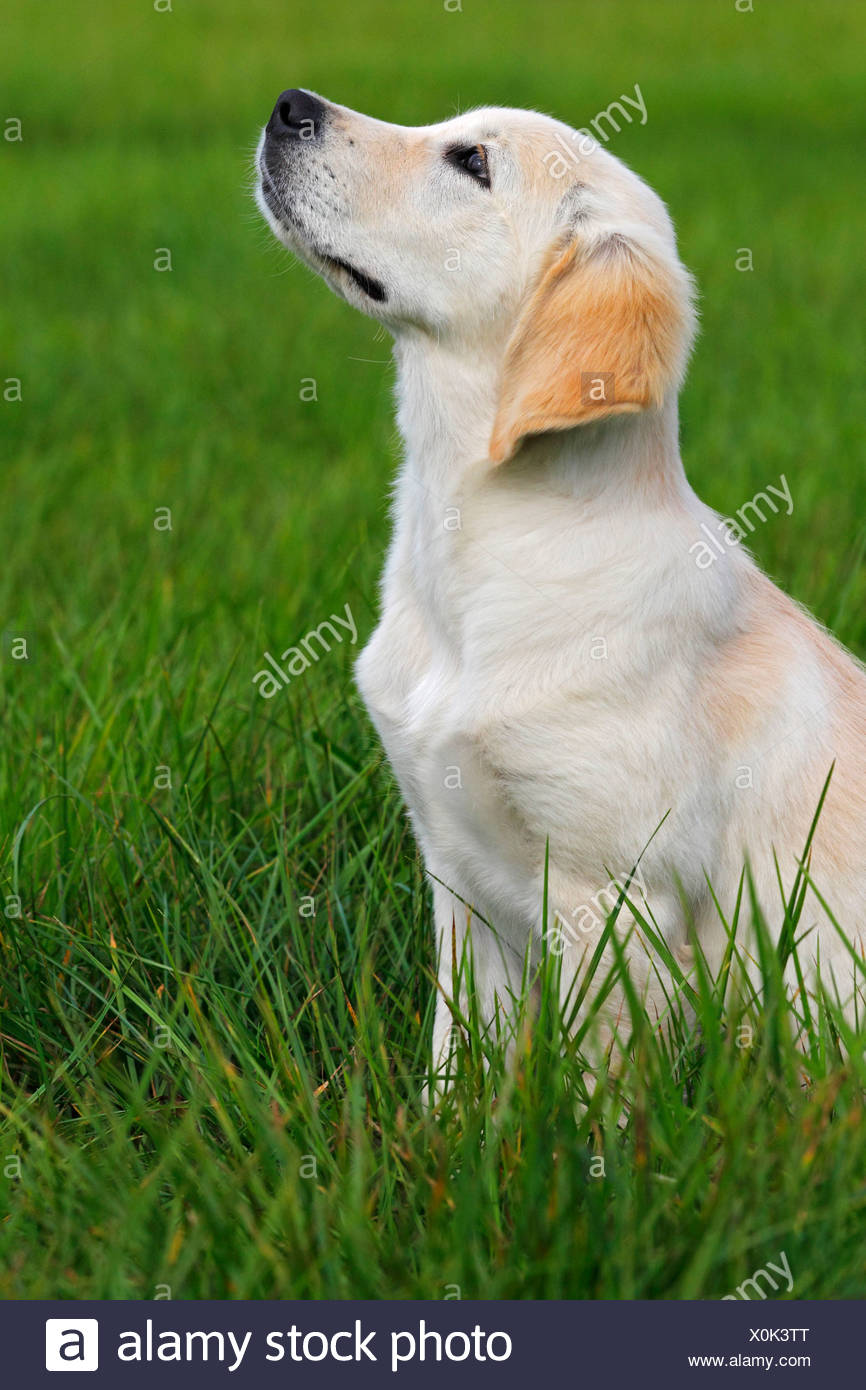 Golden Retriever (Canis lupus familiaris) puppy, three months, sitting on a meadow - Stock Image