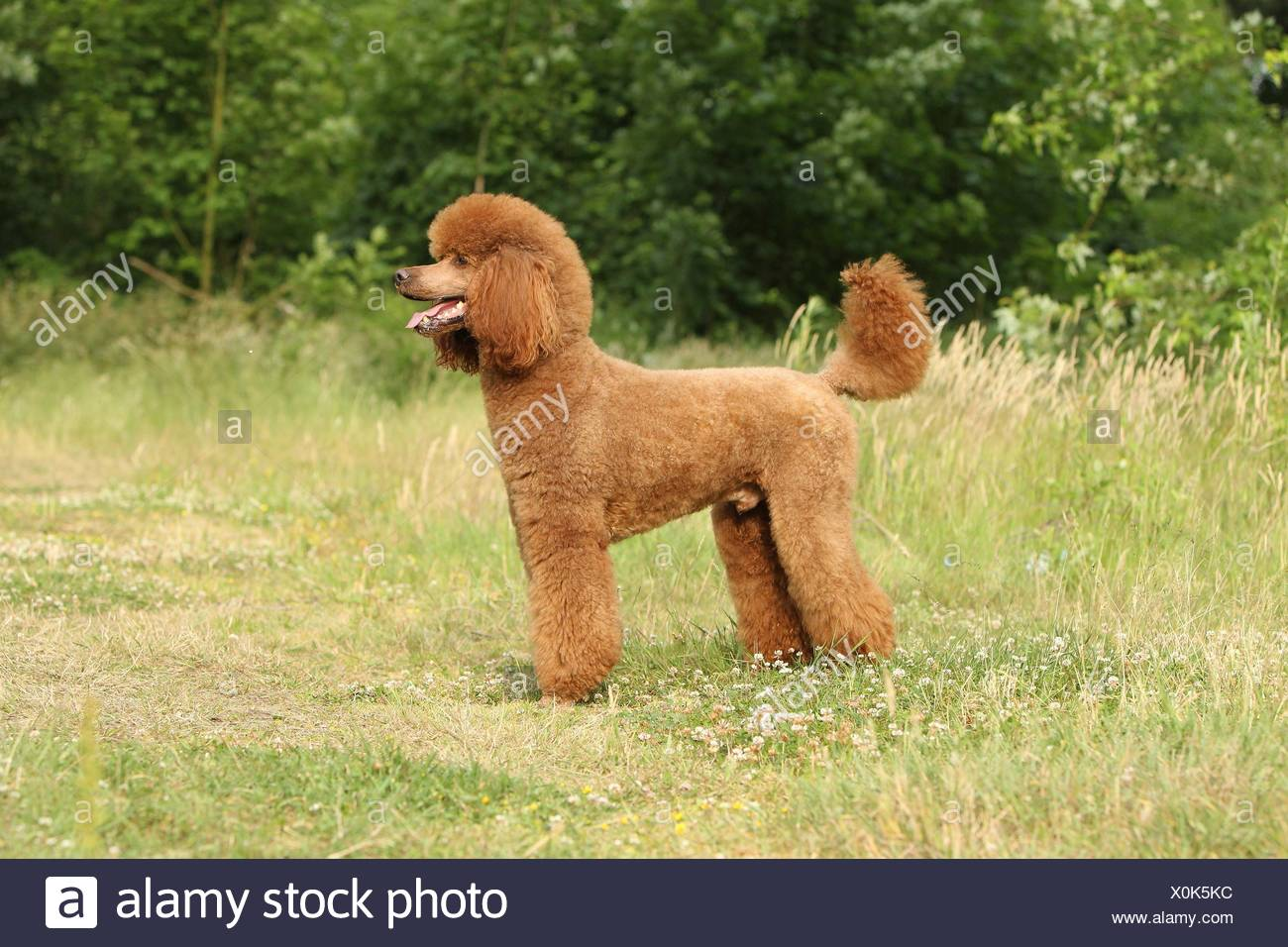 Giant Poodle - Stock Image