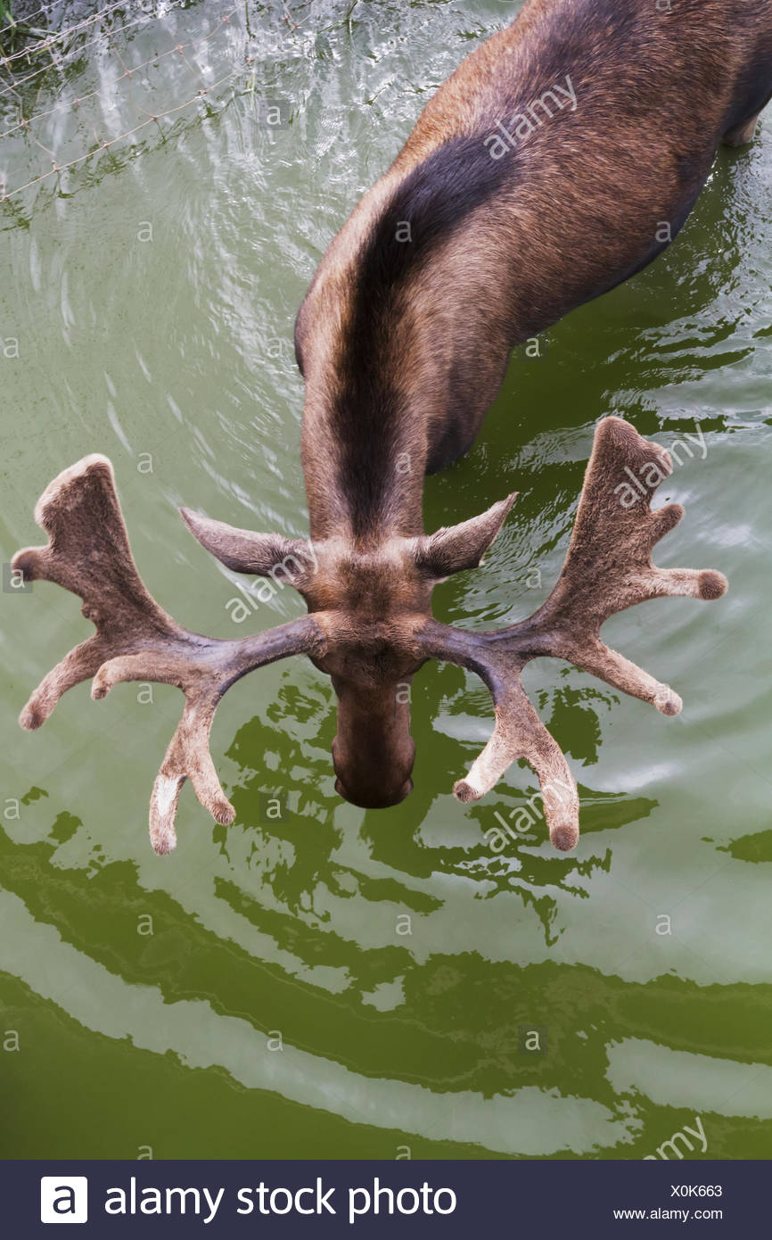 Captive Bull moose (alces alces) in pond with view of velvet covered antlers shown from above at the Alaska Wildlife Conservation Center - Stock Image