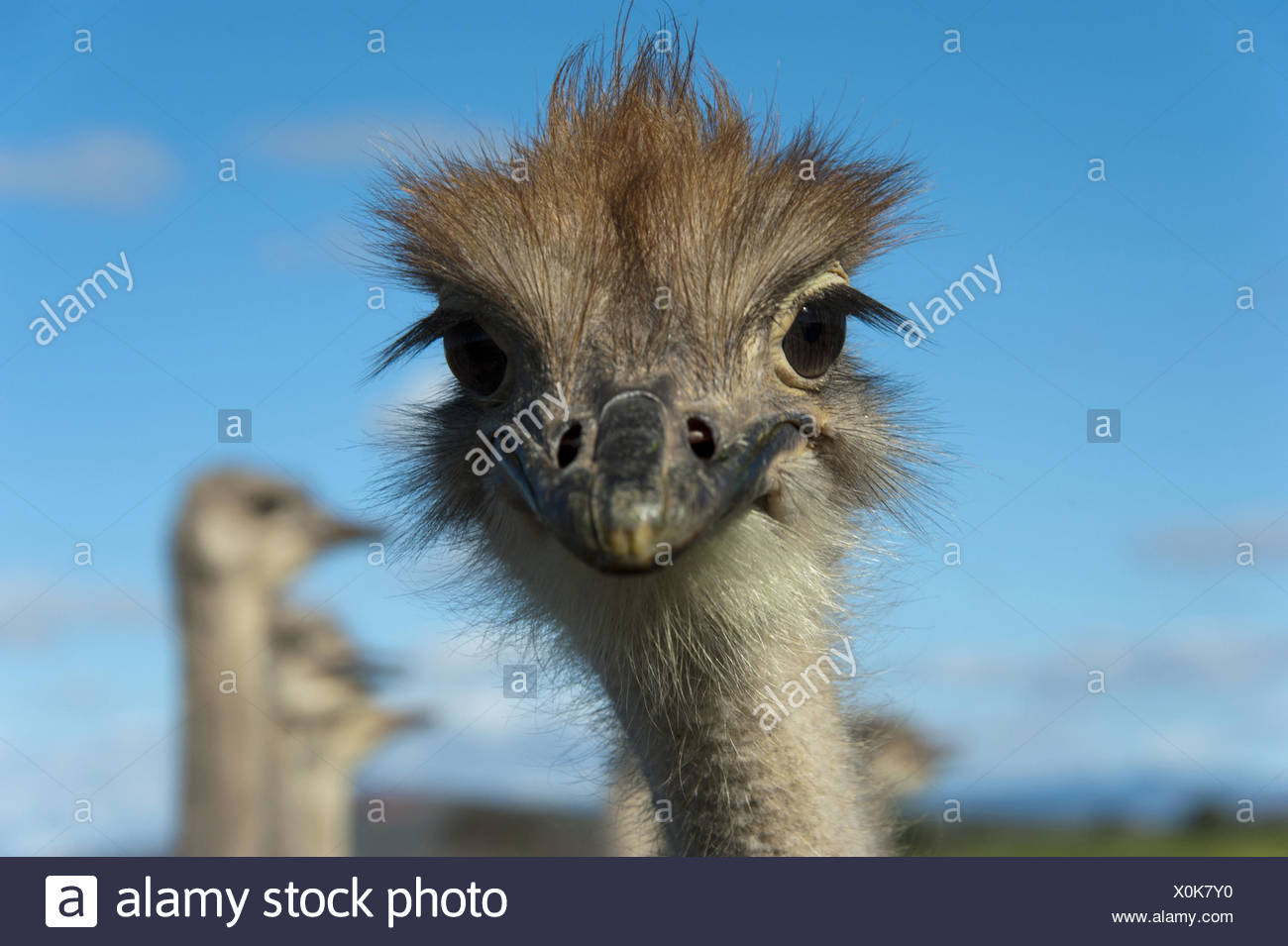 ostrich (Struthio camelus), portrait, South Africa, Western Cape, Oudtshoorn - Stock Image