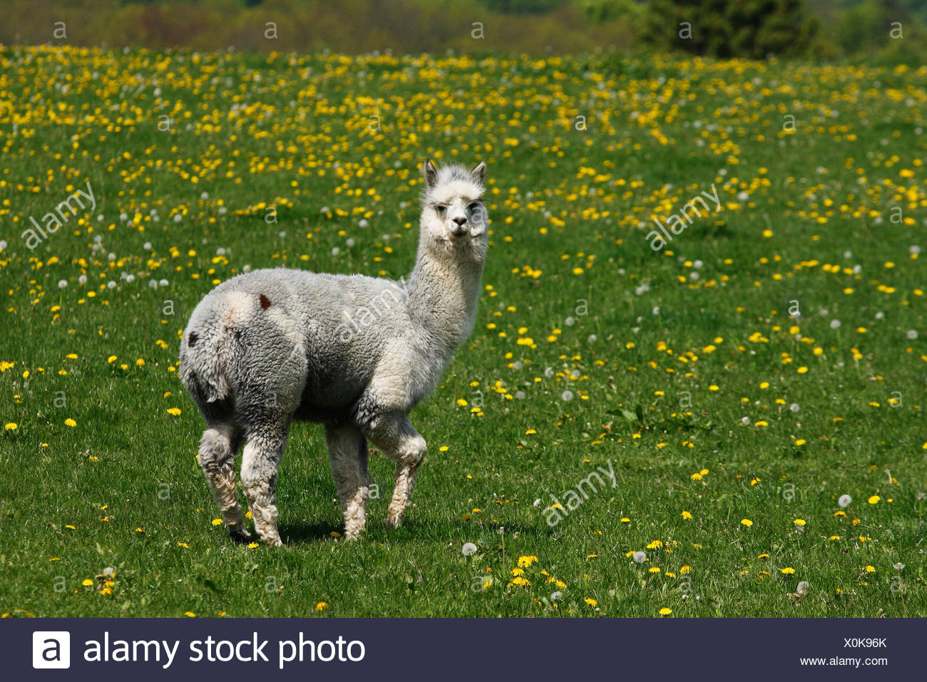Alpaca male Vicugna pacos standing on a meadow, Lower Saxony, Germany - Stock Image