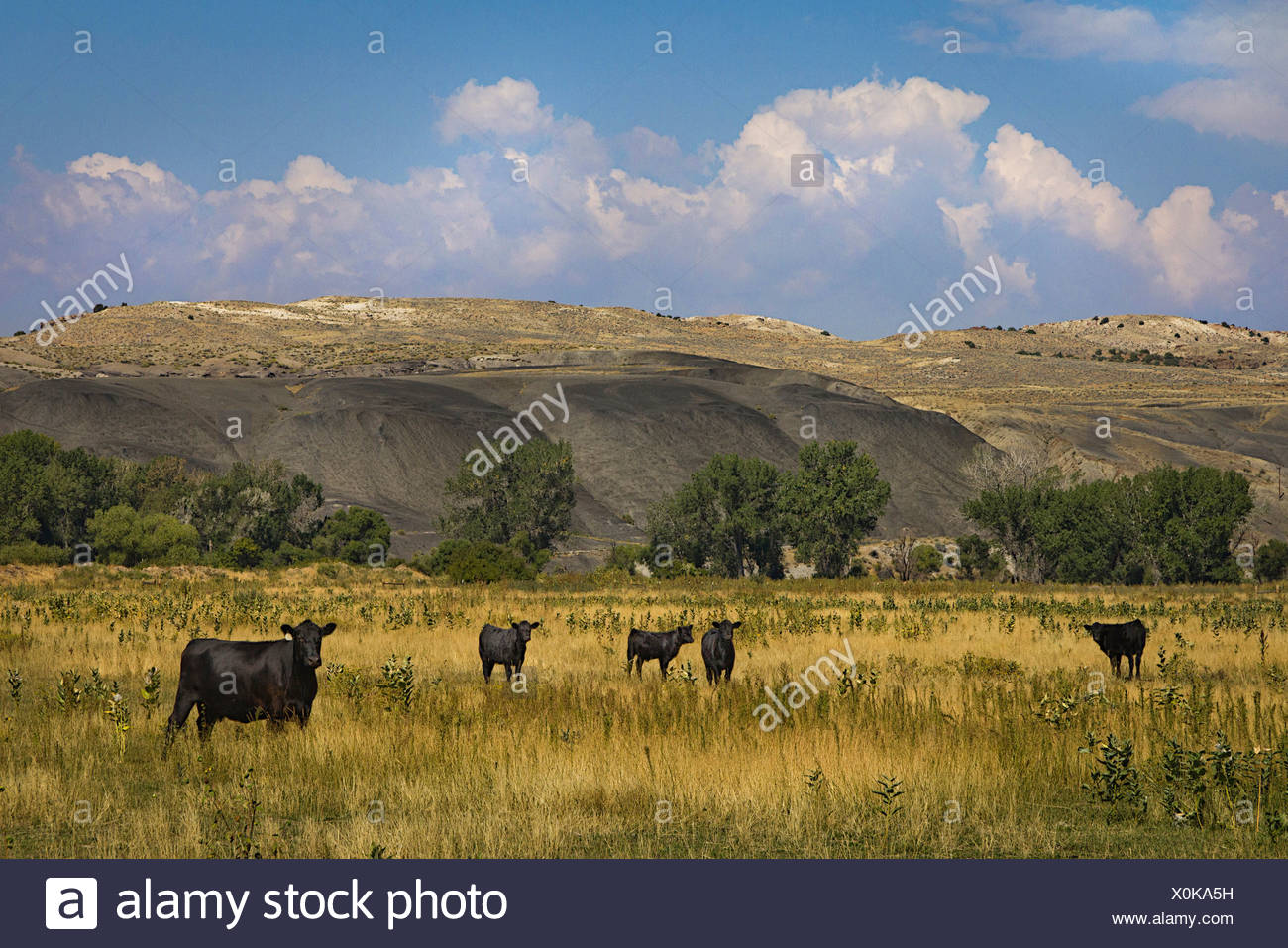 Cattle in field in Wyoming, USA Stock Photo