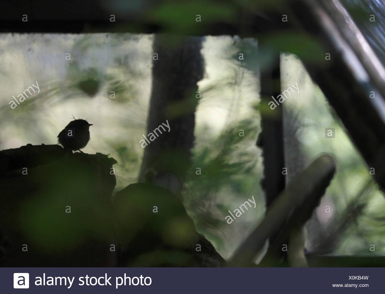 Young wren (Troglodytes troglodytes) in an old abandoned car in 'car graveyard' Bastnas Sweden - Stock Image