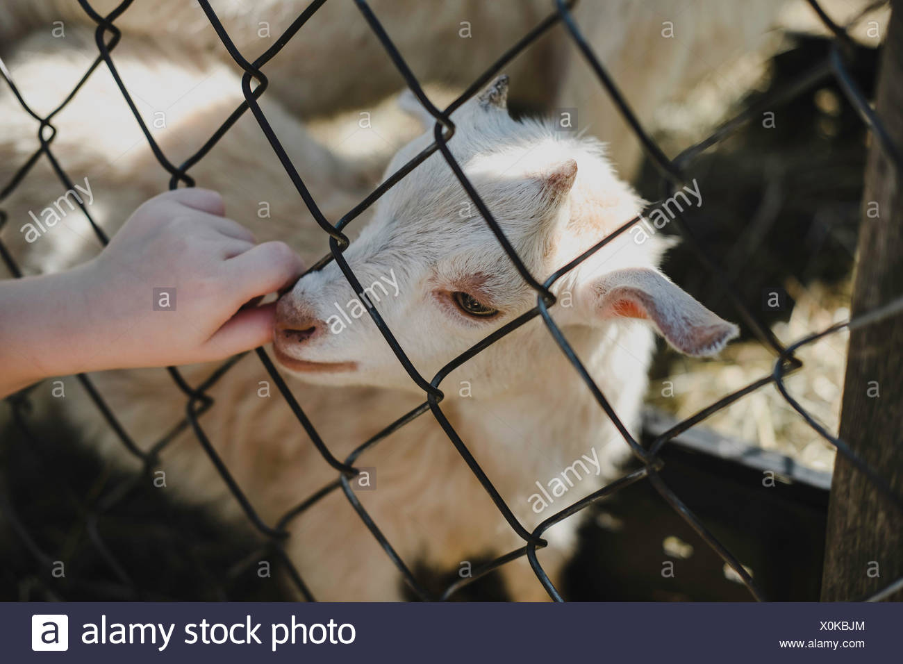 Goat kid sucking girls thumb from wire fence - Stock Image