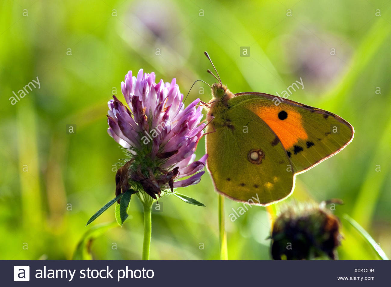 clouded yellow (Colias croceus, Colias crocea), sucking at red clover, Trifolium pratense, Germany, Rhineland-Palatinate - Stock Image