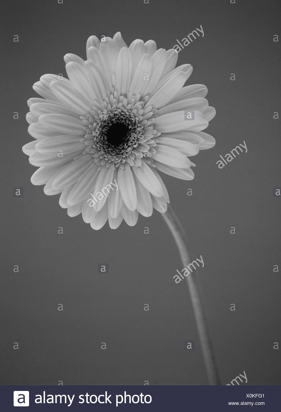 A Gerbera flower, black and white - Stock Image
