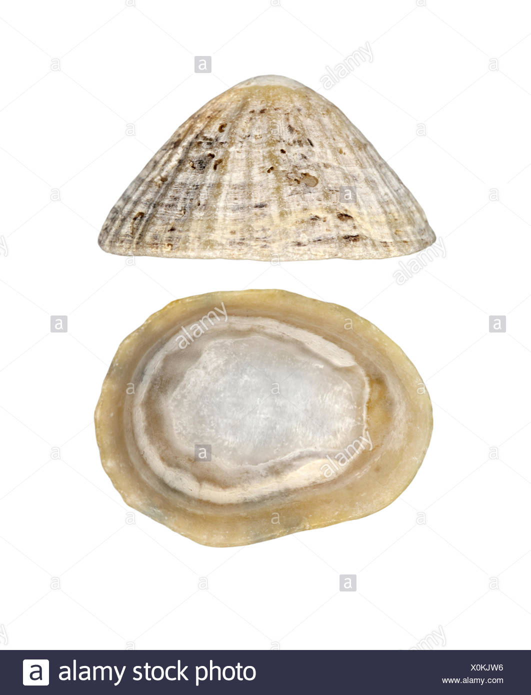 Common Limpet - Patina vulgaris - Stock Image