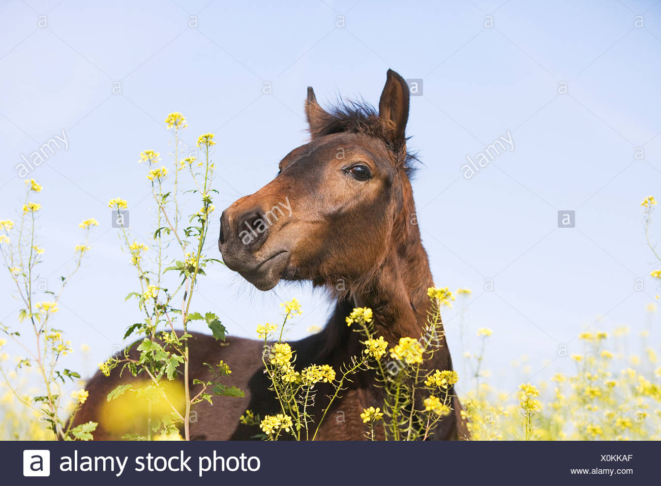 portrait of brown horse on flower meadow Stock Photo