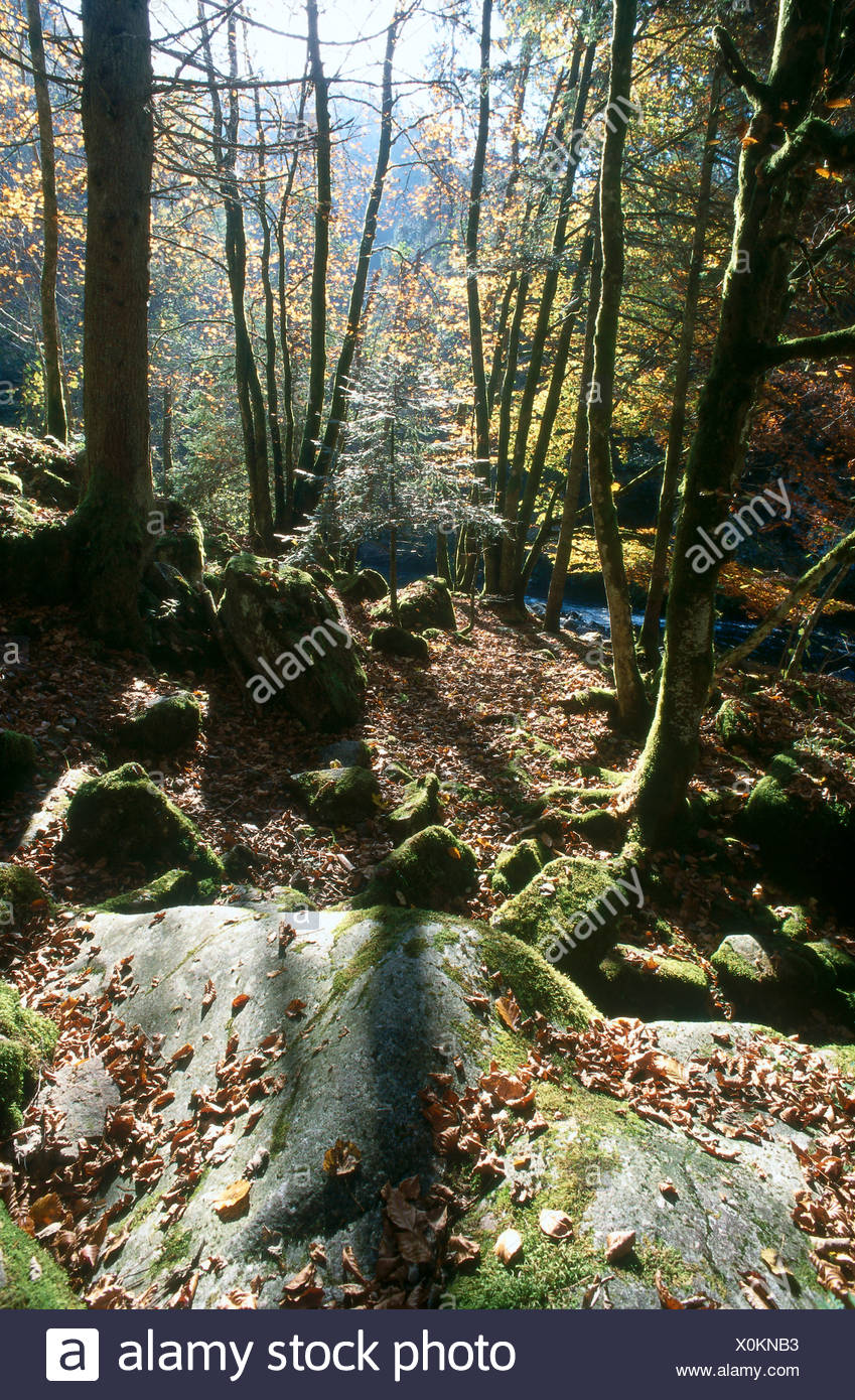 Trees in forest, Wutachschlucht, Baden-Wurttemberg, Germany - Stock Image