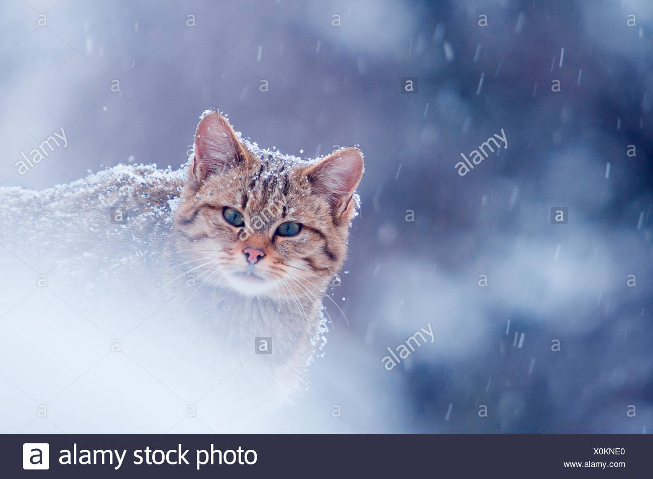 Wild cat (Felis silvestris) in snowstorm captive, Germany - Stock Image
